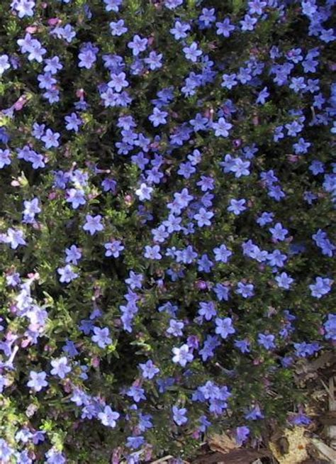 blue flower ground cover plants ed s favorites lithodora