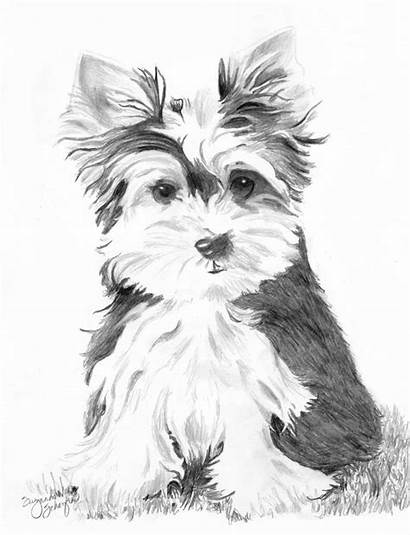 Yorkie Coloring Pages Puppy Terrier Yorkshire Teacup