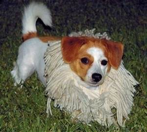 Pomeagle Dog Breed Information and Pictures