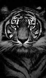 Phenomenal 25 Best White Tiger Photographic https ...
