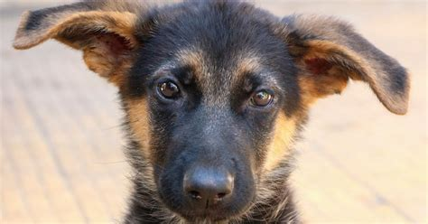 The View From Fez  Ee  German Ee   Shepherds  Ee  For Adoption Ee   In Fez