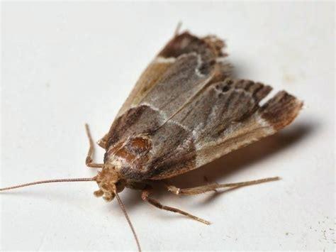 Small Brown Moths In Bedroom Psoriasisgurucom