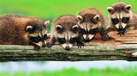 full hd wallpaper raccoon friends branch desktop
