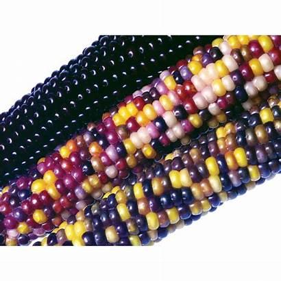 Corn Ornamental Hybrid Fiesta Seeds F1 Treated