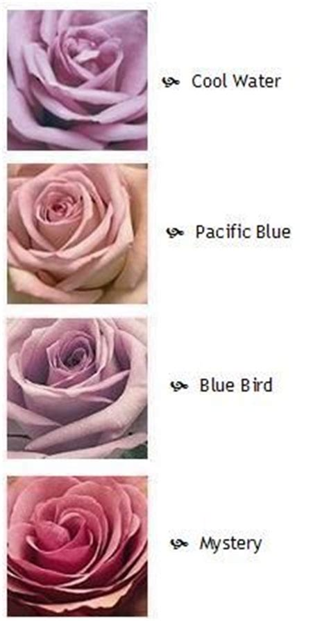 roses names  pictures purple roses flower names