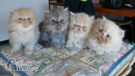 gattini persiani vendita cucciolo persiano da privato a grosseto gatti