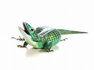 Arboreal Alligator Lizard (Abronia graminea) | ReptileTalk NET