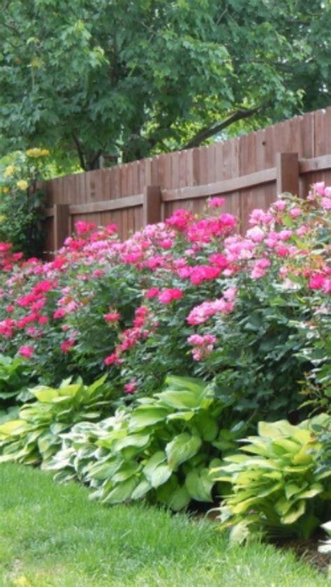 knockout roses hosta plants garden lawn garden