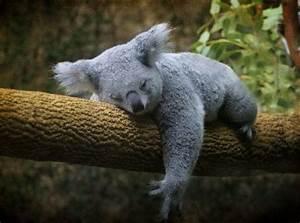 30 Adorable Photos of Koalas Sleeping on Trees - Best ...
