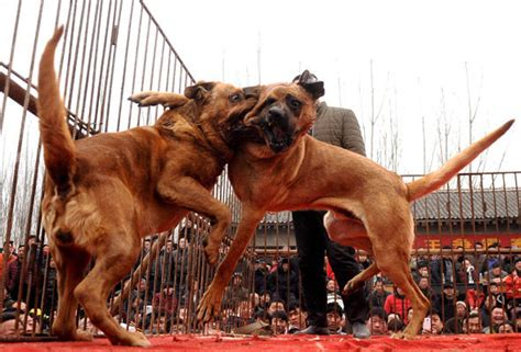 dogs forced  fight   death  front  baying mob