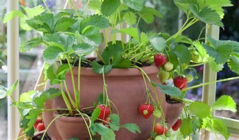 faire pousser interieur les 25 meilleures id 233 es concernant cultiver des fraises sur jqrdin de fraises