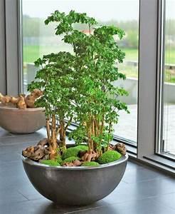 Groe Zimmerpflanzen Schale Mit Fiederaralie Und Mooskraut