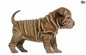 8 adorable wrinkled dog breeds that will make you smile