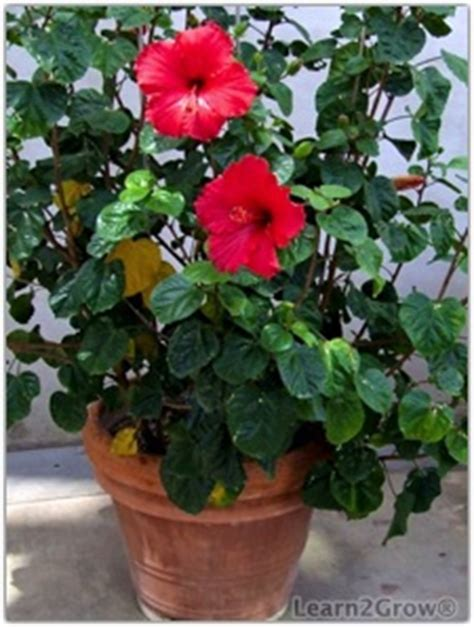 image gallery hibiscus plants in containers