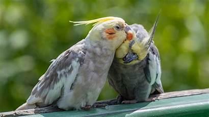 Peta Bird Birds Companion Cockatiel Cockatiels Cage