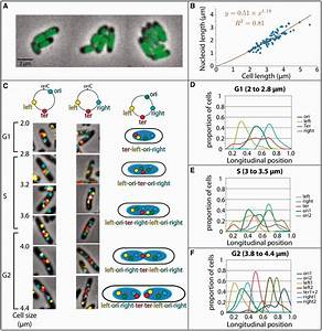 In Vivo Organization Of The E  Coli Chromosome   A  Imaging Of A