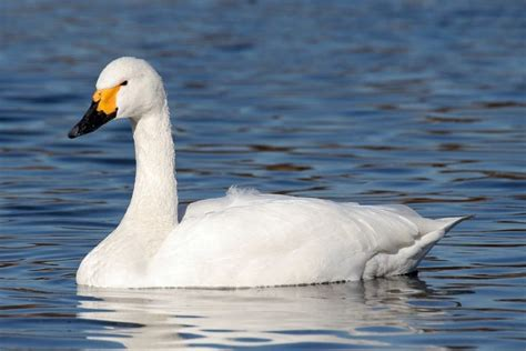swans migration winter common tundra swan guide most go species male trumpeter largest distance