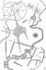 Algae Drawing Coloring Ceratium Phytoplankton Plankton Template Microscopy Science Microscope Longest Word Sketch Pages Ocean Dinoflagellates Marine 2003 Getdrawings Illustration sketch template