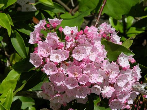 pictures of mountain laurel shrubs mountain laurel wildflowers and plants pinterest