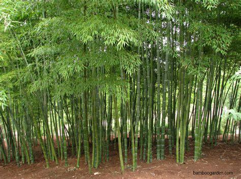 jual tanaman hias bambu jepang banda aceh java landscape