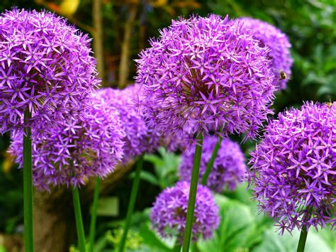 Purple Allium Flowers Monocotyledon Flowering Plants