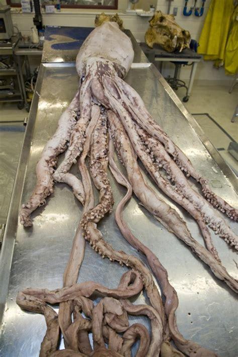 giant squid smithsonian ocean