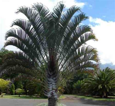 Palmeira Triangular - Imperial e Preço | Flores - Cultura Mix