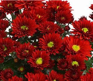 Garten Chrysantheme Dehner Garten Center