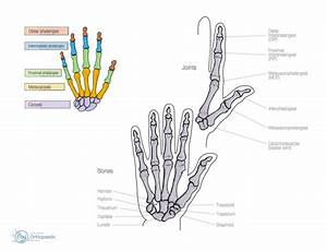 Hand And Wrist Anatomy
