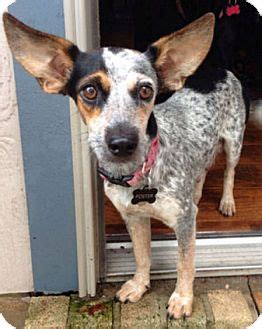 majorelle adopted dog austin tx blue heelerrat
