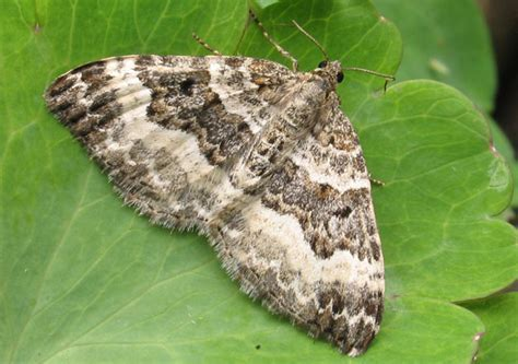 Carpet Moth Larvae Identification Uk   Carpet Vidalondon