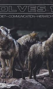 Canis Lupus—The Grey Wolves of Then and Now - Owlcation ...