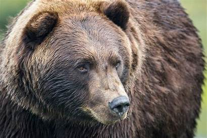 Grizzly Bear Bears Montana Grizzlies Yellowstone Attack