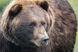 Judge Orders Additional Delay In Greater Yellowstone ...  Grizzly