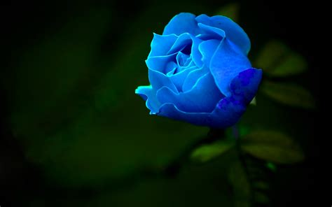 Blue Rose Wallpapers Hd Pictures