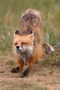 Wild Baby Red Fox Animal Pictures