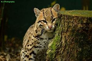 209 best images about Ocelot on Pinterest | Cats, Zoos and ...