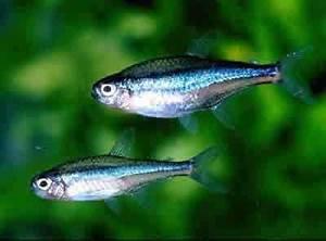 Tetras – Aquarium Fish For Sale