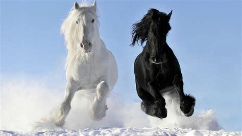 horses friesians dream horse draft light friesian dreambig dreaming majestic stallion war breeds stallions snow wild gypsy running winter dark