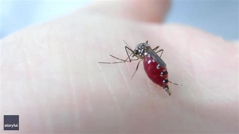 Australian Scientist Films Mosquitoes Drinking His Blood ...