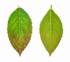 Hortensien Blätter Werden Braun Frost : hortensie bekommt braune bl tter woran kann 39 s liegen ~ Lizthompson.info Haus und Dekorationen
