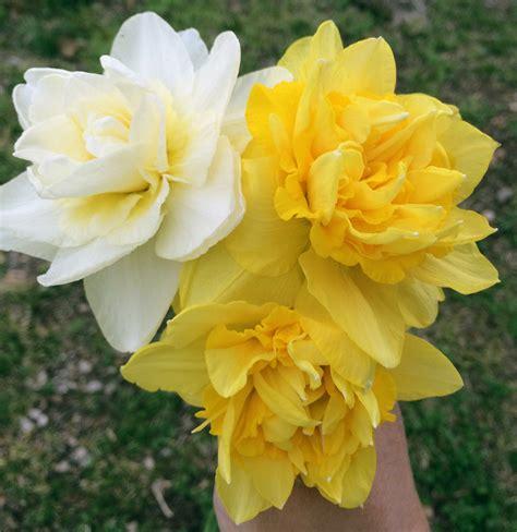 daffodil season   ozarks hawk hill