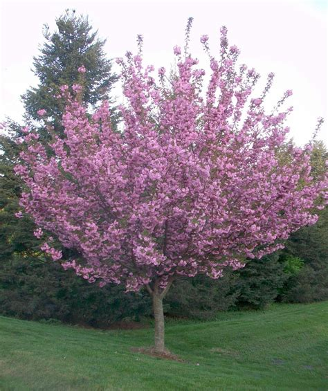 flowered tree kwanzan japanese flowering cherry