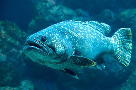 grouper goliath pound catch massive ntd fish they