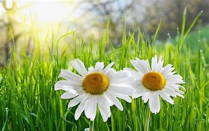 Daisy Flower Desktop Wallpapers Daisies Flowers Margaridas