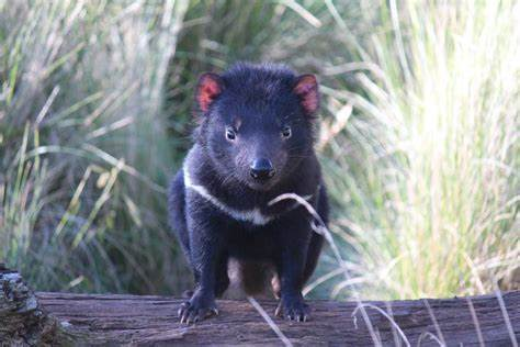 It can be found only on the island of tasmania tasmanian devils lived in different areas of australia in the past, but their number decreased in the. Devils provide the details - leading Tasmanian devil conservation project expands | Sporting ...