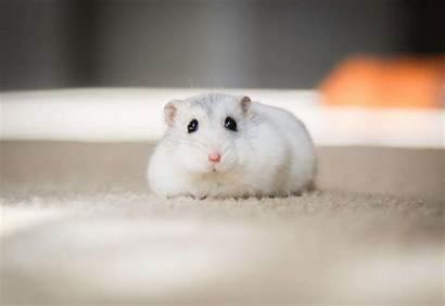 Hamster Cage Een Oud Hibernation Wordt Hamsters