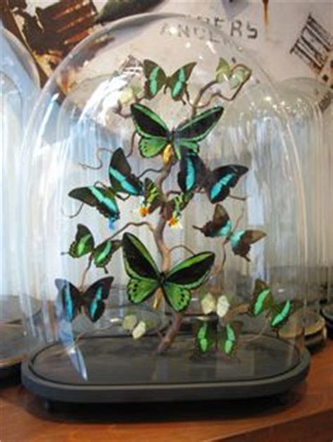 glass domes with butterflies and other insects cabinet de curiosit 233 s ghislain