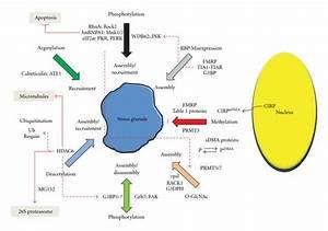 Protein Methylation And Stress Granules  Posttranslational