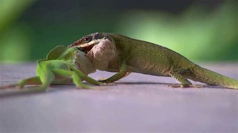 Green Anole Lizards During Mating.... Or Fighting?